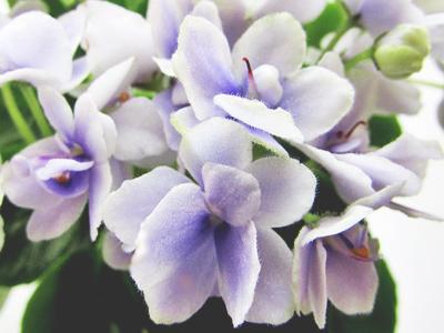 Jolly Orchid (H. Pittman)