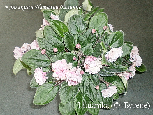 Lituanika (Butene)
