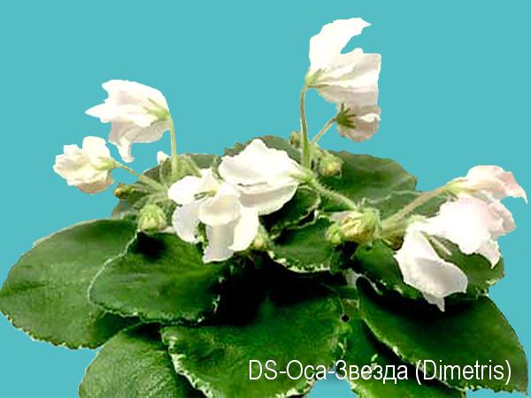 DS-Oса Звезда (Dimetris)