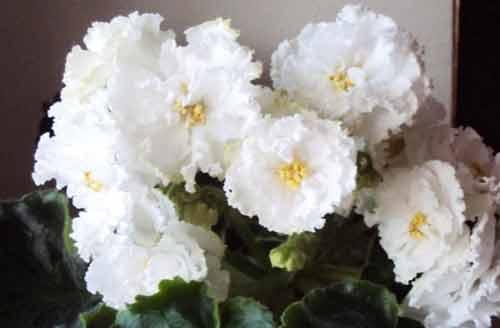 ек-сахарная роза коршуновой