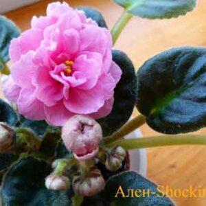 ален-shocking pink