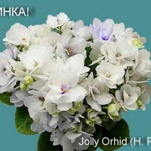 Jolly Orhid (H. Pittman)