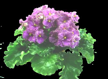 Optimara EverGlory (Holtkamp)